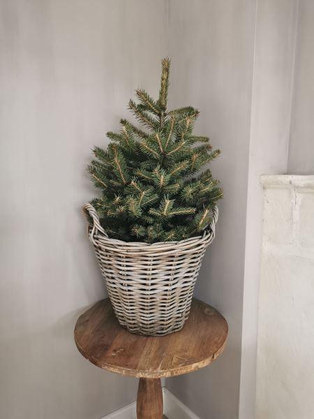 Afbeelding van Nordmann kerstboompje in pot 90 cm
